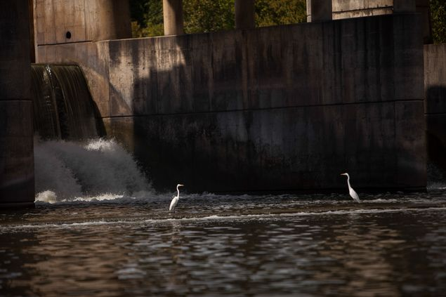 Egrets are shown near Longhorn Dam in the Colorado River. Dependents on the river like fishermen and coastal rice farmers have suffered from the drought's effects on the river.