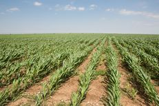 A field of corn in the Texas Panhandle