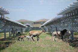 Sheep wander between rows of solar panels at at a 4.4-megawatt solar farm in northeast San Antonio. OCI Solar Power, the farm's operator, uses the sheep – and their voracious appetites – to maintain shrubbery on the 45-acre site.