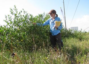 Texas A&M University scientist Anna Armitage looks at a mangrove shrub on Pelican Island along the Texas coast.