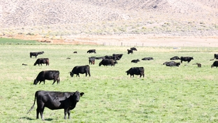 Cows in a field in the Nevada desert.