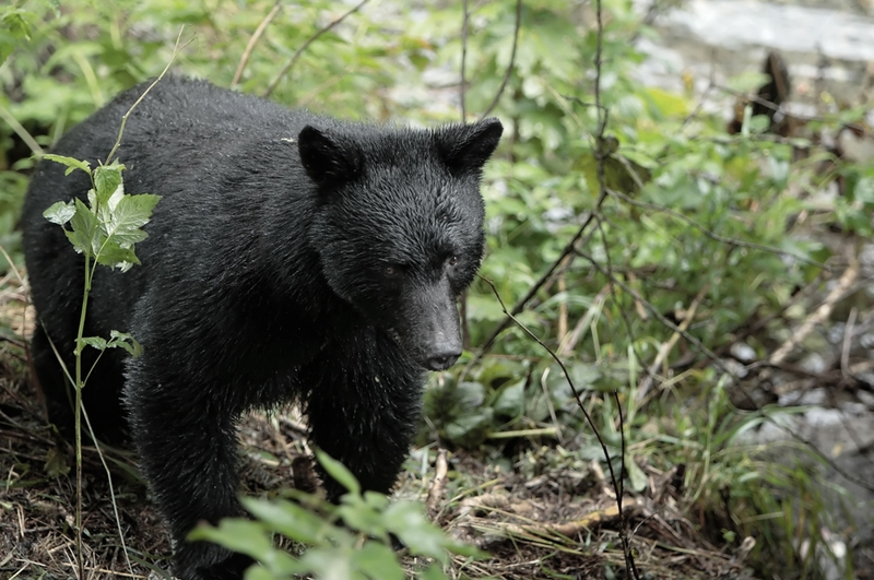 Black Bear image by Alan Vernon