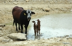 The relentless drought still gripping the state has dried up drinking water for cattle, pushing ranchers to sell off parts or all of their herds at auction. Matt Largey of KUT News reports.