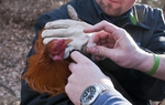 Domanick Muñoz, senior animal cruelty officer for the Dallas Police Department euthanizes a severely injured rooster.