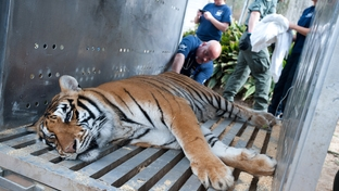 The Humane Society of the United States is working with the Mississippi Department of Wildlife, Fisheries and Parks, Carolina Tiger Rescue, Wildlife Rescue & Rehabilitation and Born Free USA Primate Sanctuary to rescue 11 exotic animals from the Collins Zoo.