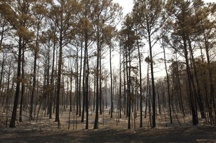 Scored pine tress outside of Bastrop where a wildfire came through on September 6, 2011.