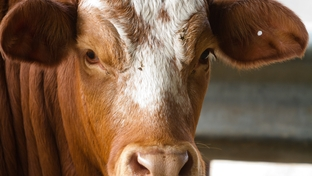 The U.S. Department of Agriculture is abandoning the use of hot-iron branding and moving towards the use of ear tags for the identification of cattle.