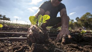 Glenn Foore planting cabbage on Springdale Farm, Austin, Tex. on September 11, 2012