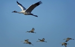 A wild flock of whooping cranes flies each year from Canada to the Aransas marshes of the Texas Gulf Coast. As Erika Aguilar of KUT News reports, the fate of the endangered birds has spurred a federal court case in Corpus Christi set to begin next week.