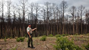 Officer Roger Dolle, Bastrop State Park's Site Manager, examining a 100 ft. clearing near a road that was previously dominated by Loblolly pines and oaks. The oak trees come back in a bush-like because their roots resisted the heat from the fire more readily than the pines. April 16, 2012.