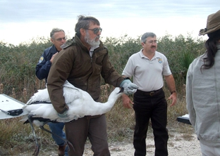 Tom Stehn, the Aransas National Wildlife Refuge's Whooping Crane Coordinator, carries an emaciated crane to treatment.