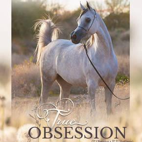 JP True Obsession In Foal to Hariry Al Shaqab