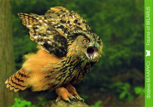 Lovely eagle owl from Belarus
