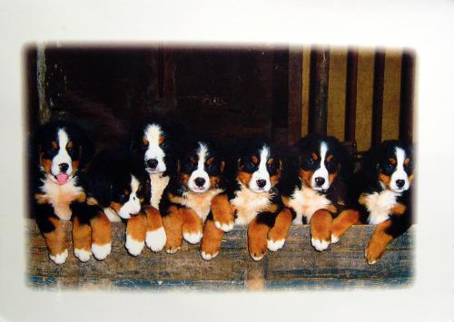 Bernese Mountain Dog puppies, card from Wilma. Thank you very very much!