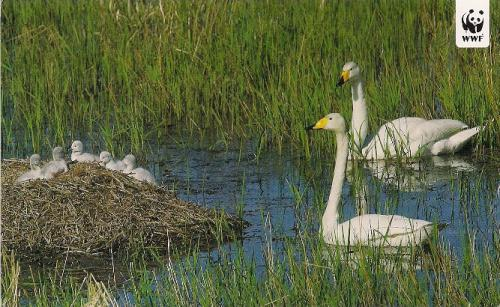 Lovely swans and their babies.