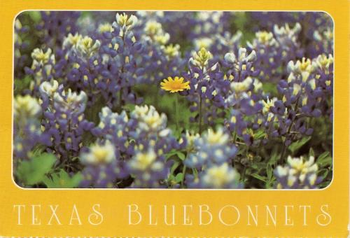 Bluebonnet Field. State Flower of Texas.