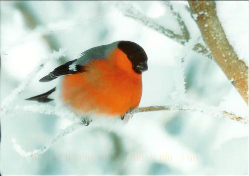 Finch in the snow, from Estonia.