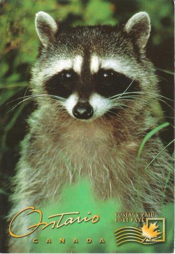 The Raccoon: A highly intelligent mammal that is primarily nocturnal-also in Europe now!