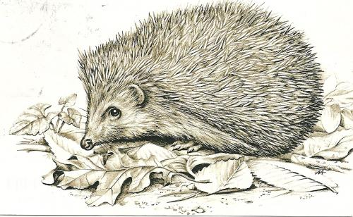 How to draw hedgehogs
