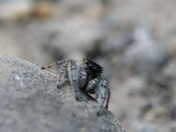 Jumping spider peering over stone