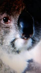 save koalas