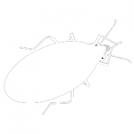 First sketch of a firebug.