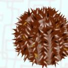 Lytechinus variegatus