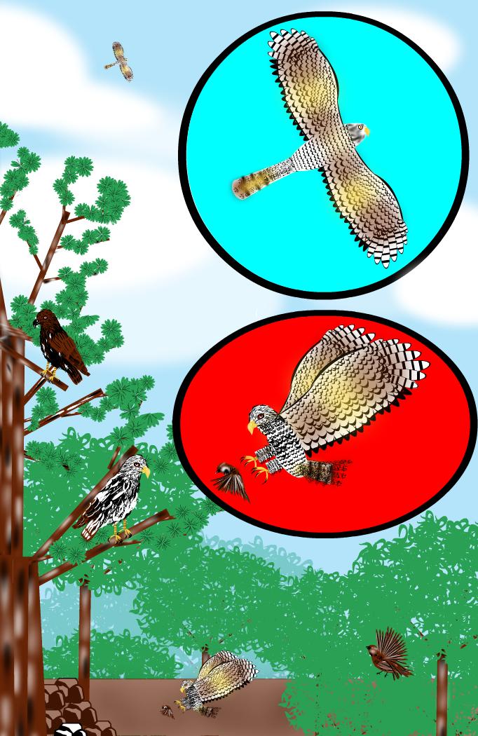 Elanoak  Hawks