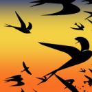 Swallows Flocking