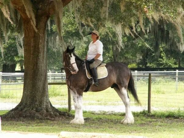 18 hand clydesdale