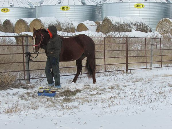quarter horse in snow