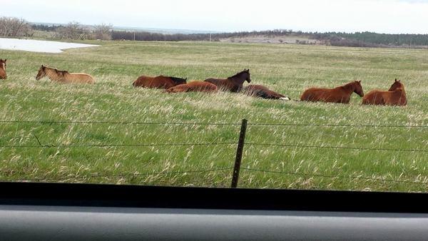 napping horses