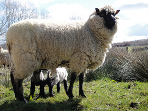 Llanwenog and lamb 2