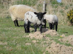Llanwenog lamb