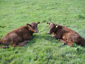 mirror calves