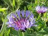 Wild_flower_1