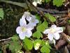 Wild_flower_8