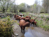 Cows_in_river