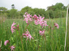 Ragged Robin group