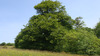 Goyle_trees