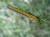 Caterpillar_1_