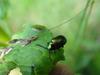 Dockbeetle-male
