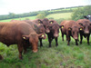 steers for market 2010