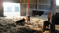 calving in the barn