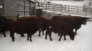Cows in snowy yard