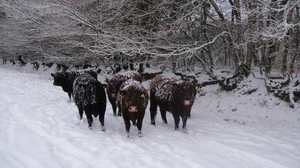 Steers in the snow