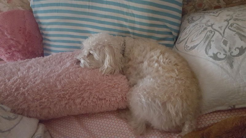Meet Poppy, the lovable pup from Oakville!