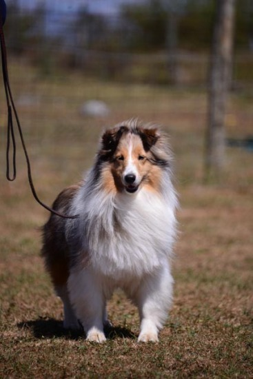 Shetland Sheepdog Club of Greater Baltimore - Herding Test Sept 2013