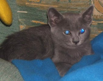 11/30 Competition: The Russian Blue