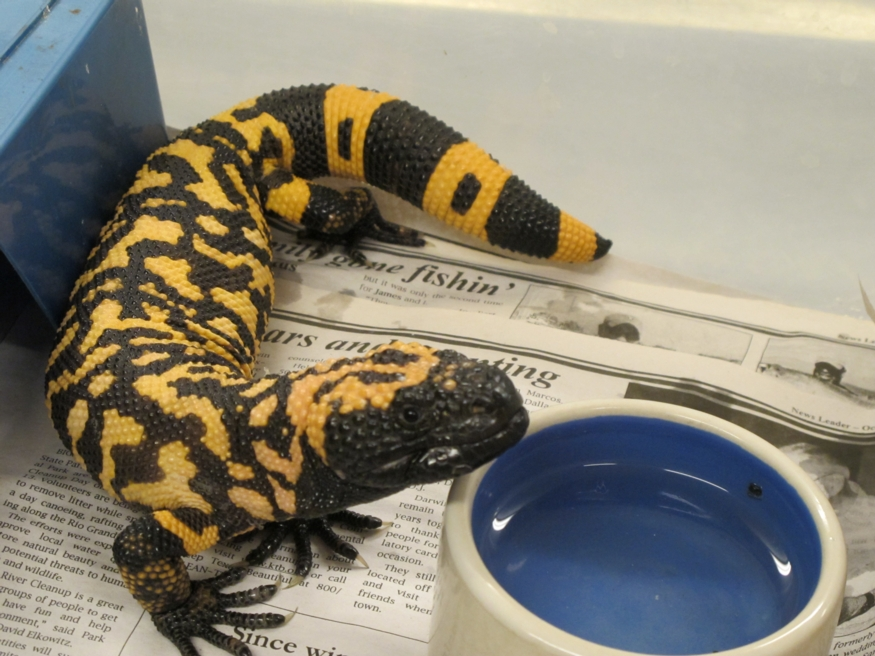 Gila Monster Plays Role In New Type 2 Diabetes Treatment